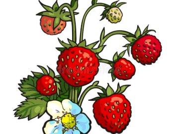 TRUSKAWKI LEŚNE - Wiązka dzikich truskawek z białymi kwiatami Zamknięty kwiat.