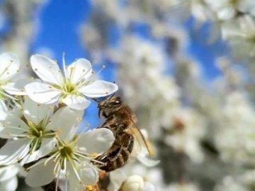 pszczółka - siedzi sobie pszczółka na drzewie i wykonuje swoją robotę. Zamknięty kwiat.