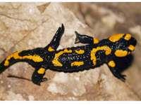 Lizard - Animal, animal, and animal again. A black and yellow frog.
