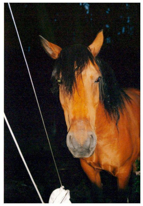 Mustang caballo de mi semental - caballo de la granja de caballos. A cerca de un caballo.