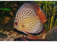 Akvariefisk - Färgglad akvariefisk. En närbild av en fisk.