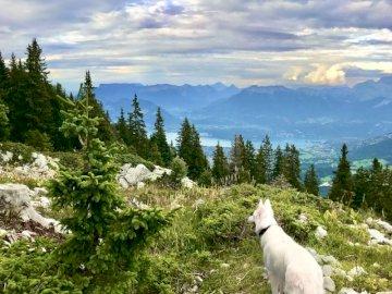 Heidi la Semnoz - Pe culmile Annecy, undeva în muntele Semnoz, Heidi, un ciobanesc elvețian Annecy alb admiră prive