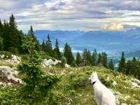 Heidi bei Semnoz - Auf den Höhen von Annecy, irgendwo im Berg Semnoz, bewundert Heidi, ein weißer schweizerisch-annez