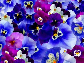 Kolorowe bratki kwiaty