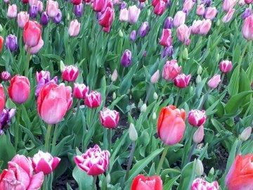 Tulipes sur la citadelle - Tulipes sur la citadelle au printemps. Un gros plan d'un bouquet de fleurs roses.