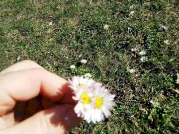 stokrotka - stokrotka na trawniku. Ręka trzyma kwiat. stokrotka  rosnąca w trawie. Ręka trzyma kwiat. stokrot