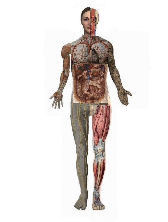 Anatomie des Deckkörpers - Das Leben des menschlichen Körpers in verschiedenen Strukturen (4×7)