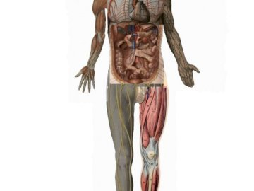 Cover body anatomy - The life of the human body in various structures.