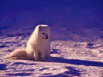 White wolf in the snow - Little white wolf on the snow. Norway.