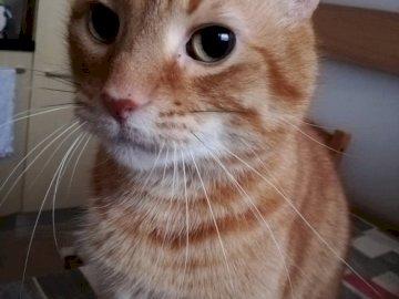 Toffee plaudernde Katze - Ich regiere hier und warte auf Liebkosungen ?. Eine Katze, die in die Kamera schaut.