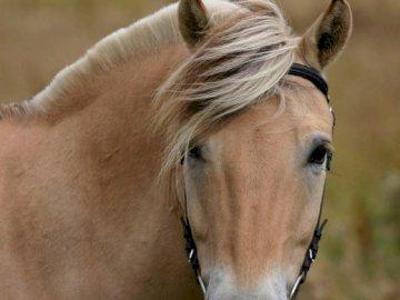 Coquettish ló