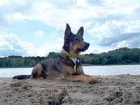 Perro alsaciano en el Vístula