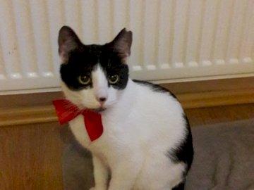 Kitty dans un arc rouge - Complétez le puzzle avec le minou. Un chat assis sur une surface blanche.