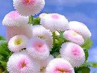 Marie-Do - Dahlienblüten weiß und pastellfarben. Eine Gruppe von rosa Blumen.
