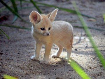 Fennec fox - Fennec fox sweet cutie. A fox standing in the dirt.