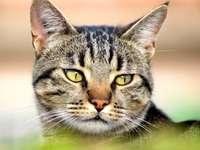 PuzzleNox - Ett foto av Nox som skapar ett pussel. En närbild av en katt.