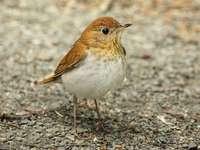 Tordo bruno - Questa specie si trova nelle Americhe dal Canada al Paraguay. Un uccellino è in piedi sulla sabbia.