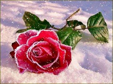 Eine Rose im Schnee. - Puzzle: eine Rose im Schnee. Eine Nahaufnahme einer Blume.