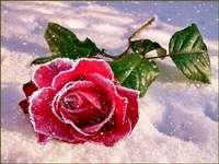 Eine Rose im Schnee.