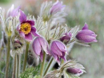 Sasanki wiosenne kwiatki - -------------------------------. Zamknięty kwiat.