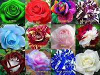 Mooie rozen - Vol prachtige rozen. Een groep van kleurrijke bloemen.