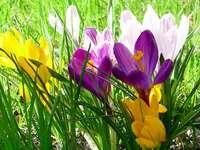 минзухари - пролетни цветя
