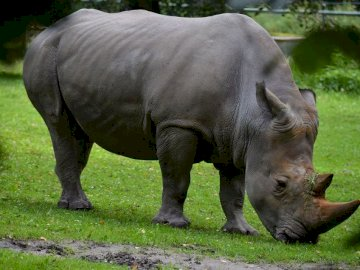 RHINOCEROS - Make a rhino - the hero of today's story from the puzzle. A rhinoceros walking in the grass.