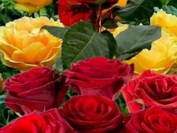 Ładne róże - Ładne czerwone i żółte róże. Kolorowy kwiat na roślinie.