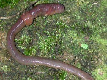 Animals living in soil - The picture shows an animal living in soil. A close up of an animal.