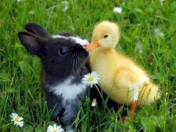 Ένα κουνέλι και ένα παπάκι - Φιλιά ανάμεσα σε κουνέλι και παπάκι. Μια μικρή άσπρη συ