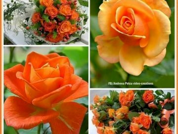 Pretty roses - Pretty orange roses. A close up of a flower.