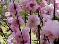 Райска ябълкова дърво