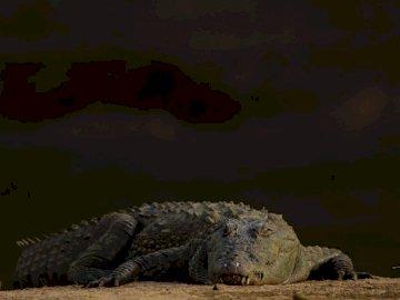 Crocodile au soleil - Marais - Crocodile gris en gros plan photographie. Un gros plan d'un reptile.