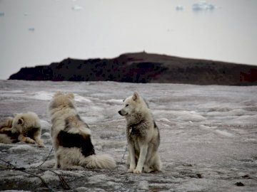 Greenlandic dogs waiting in a - Three brown-and-black dogs. A bear that is standing in the snow.