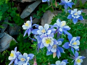 marie-do - Beautiful blue and yellow flowers in spring. A close up of a flower garden.