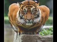 Javali super selvagem - O que é um javali e de quem ele é dito. Um gato com a boca aberta.