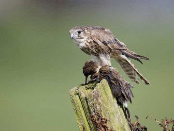 merlin - Lifestyle and behavior. It is a migratory bird. It flies through Poland from September to November a