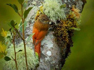 Woodblocker perlado - Ocurrencia y ambiente: esta especie se encuentra en América Central (México, Nicaragua, Guatemala,