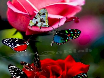 Róże i motyle - Ładne róże i ładne motyle. Grupa różowe kwiaty na stole.
