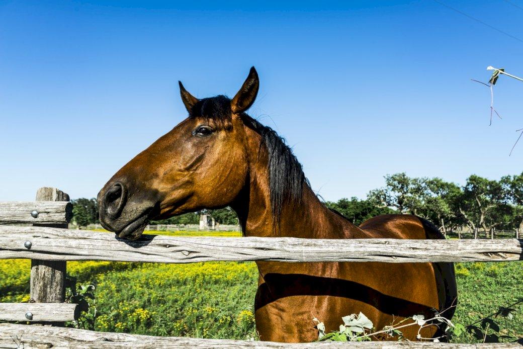 Día nacional del caballo - ¡Hoy es el día del caballo! Un caballo en un día soleado en un prado verde. Un caballo parado sobre una valla de madera (12×11)