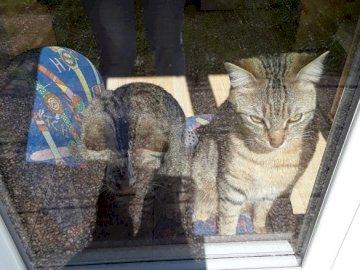 KUMA ET SANGA - Charmants petits chats originaires du nord de la France et abandonnés par leur mère dès la naissa