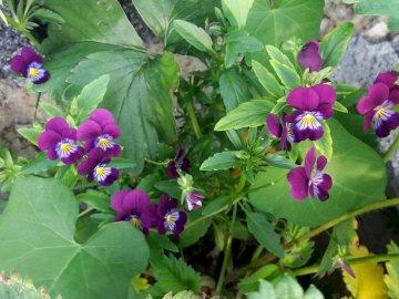 bratki w liściach - fioletowe kwiatki bratki w liściach. Zakończenie up kwiatu ogród.