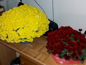 Chryzantemy jesienne kwiaty - Chryzantemy jesienne kwiaty.