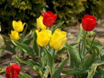 piękne kolorowe tulipany - wiosenne tulipany bardzo piękne. Czerwony kwiat na roślinie.