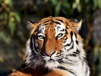Ortho en (plus) Claire - Pussel med en tiger. En närbild av en tiger.
