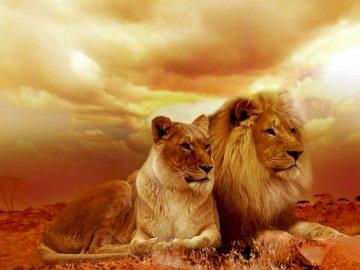 wundervolles Paar Löwen - wundervolles Paar Löwen. Ein Löwe schaut in die Kamera.
