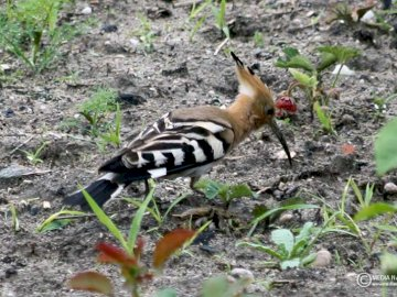 Hoopoe (Upupa epops) - Food It feeds on large insects (it is able to pull grubs straight from the soil), snails, earthworms