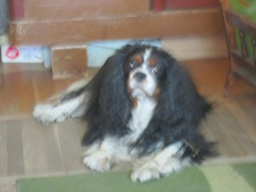 Cavalierek - Dog of the royal breed - kong charles spaniel. A dog sitting in a room.