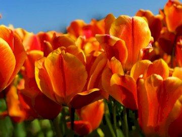 En route vers la tulipe - Fleurs de tulipe orange sous un ciel clair. Eugene, Oregon. Un gros plan d'une fleur.