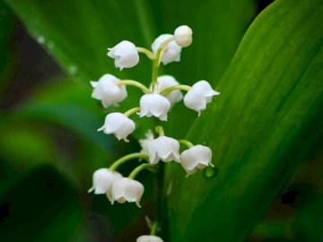 marie-do - Beautiful sprig of lily of the valley in full bloom. A white flower with green leaves.